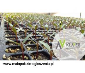 Praca przy cięciu i pielęgnacji sadzonek od zaraz - Holandia, Lottum